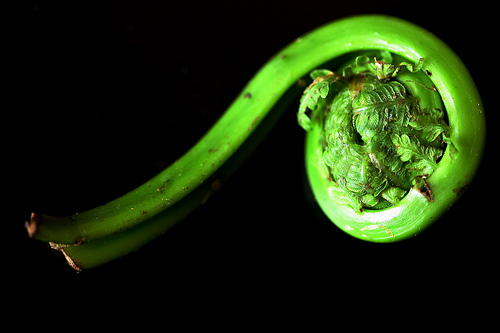 How To Use Fiddlehead Ferns